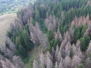 Păduri uscate din picioare, unde infestarea cu gândaci de scoarţă s-a extins pentru că nu s-a intervenit la timp