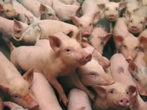 Pesta porcină africană (PPA) a reapărut în România. Foto: onlinereport.ro