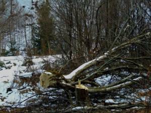 Tânăr aflat în stare gravă în spital, după ce un arbore a căzut peste el