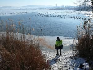 Primăria Fălticeni va hrăni zilnic lebedele de pe iazurile din acest municipiu
