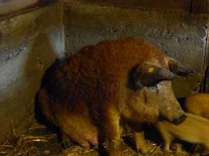 Porcii de Mangaliţa au o carne fragedă, suculentă şi cu un conţinut redus de colesterol