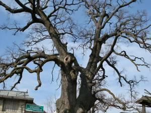 Stejarul din Cajvana. Foto: treeoftheyear.org