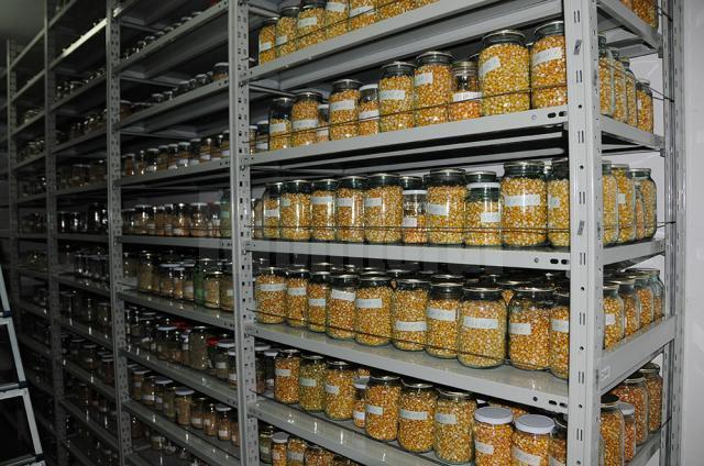 Sortimente diverse de porumb, conservate în spațiile Băncii de Gene