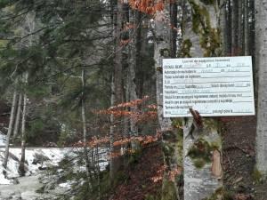 Taierile de arbori de pe Rarau, lucrari autorizate si efectuate conform regulilor