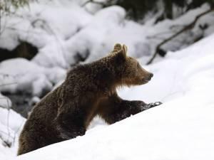 Urs tânăr, ieşit din hibernare. Foto: Silviu Matei