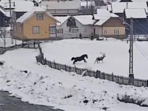 Cerbul în alergare alături de cal