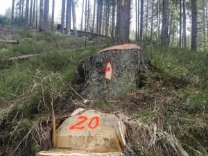 Tăieri ilegale de arbori într-o suprafață de pădure deținută de Primăria Borșa pe raza județului Suceava
