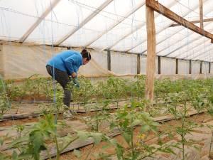 Daniela Marian în timpul lucrului la noua recoltă de tomate de la Dolhești
