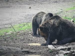 """Doi urși iau """"picnicul"""" în natură, la o hrănitoare amplasată de silvicultori, la OS Broșteni"""
