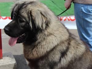 Peste 750 de câini, din 60 de rase, vor putea fi admirați la Bucovina Dog Show
