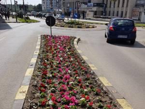 250.000 de rasaduri au fost plantate recent de angajații Primăriei Suceava