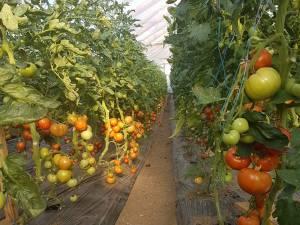 Primele buchete de tomate coapte, din noua recoltă