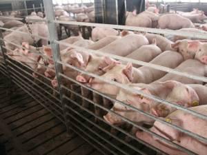 Ferma de porci de la Vorniceni-Moara