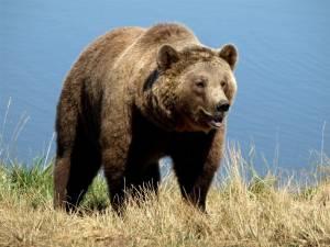 Atacurile de urs, mult mai multe decat in alți ani