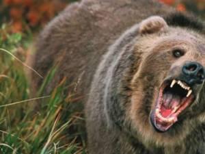 Șapte atacuri de urs asupra vitelor și cailor, doar în luna august