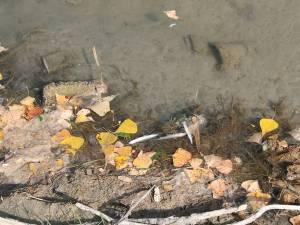 Peştii morţi găsiţi ieri pe râul Suceava, în zona industrială