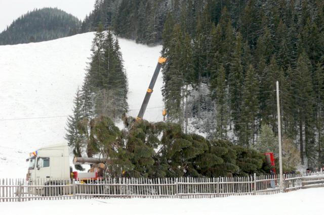 Molidul de peste 20 metri înălțime a fost recoltat de pe raza OS Breaza