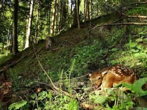 Pui de ciută Foto: Stelian Bodnari - Asociația Wild Bucovina
