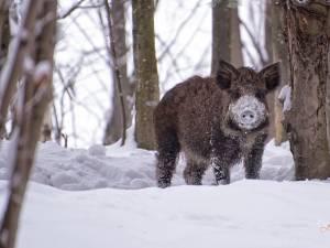 Porc mistreţ. Foto: Dragoș Acsani