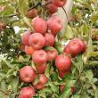 Producţie de mere mare, în toamna anului trecut