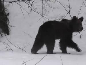 Urs ieşit din hibernare, în Parcul Național Călimani