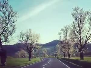 Bătrânii cireşi care străjuiau drumul naţional 2H, de la Vicovu de Sus până la Putna