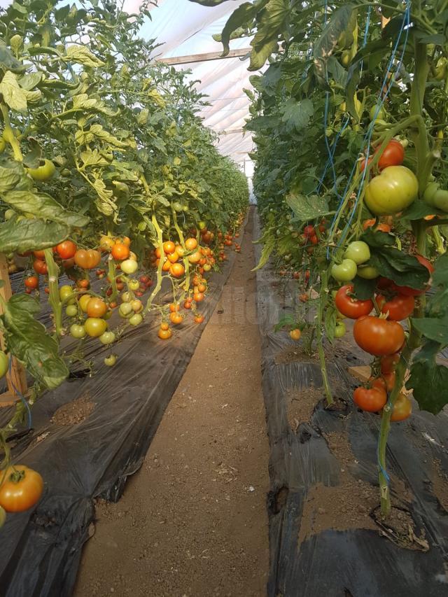 Cultura de tomate în solar