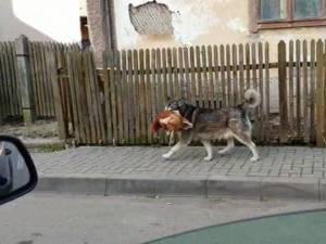 Un câine care se plimba cu o găină în gură, pe străzile din Câmpulung, vedetă online