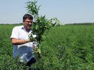Laurențiu Pintrijel, preşedintele Asociaţiei Cultivatorilor de Cânepă, pe suprafeţele de cânepă cultivate la Vicșani