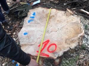 Cioate provenite din tăierea fără drept a unui număr de 10 arbori, la Sucevița