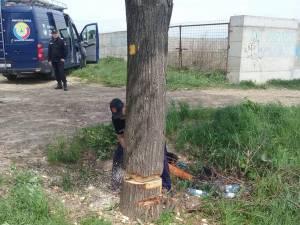 Copacul a fost doborât în condiţii de siguranţă