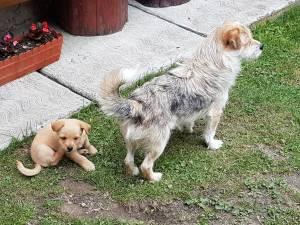 Campanie de sterilizare și microcipare a câinilor, în municipiul Suceava