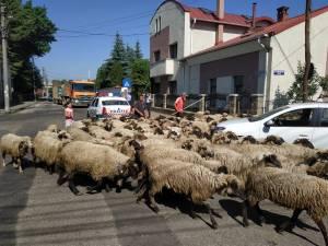 Cu oile prin oraş la Rădăuţi