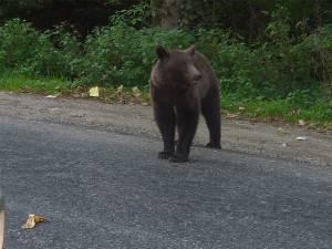 Urs pe stradă. Foto: Transilvania News