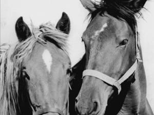 """""""Hoţ de cai descoperit"""""""