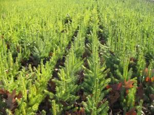 Nouă milioane de puieţi forestieri, produși în pepinierele Direcției Silvice Suceava