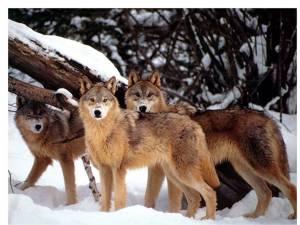 """""""Au apărut lupii"""""""
