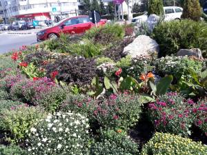 Plantarea crizantemelor, pentru înfrumusețarea Sucevei în toamnă, a început de la intrarea dinspre Fălticeni