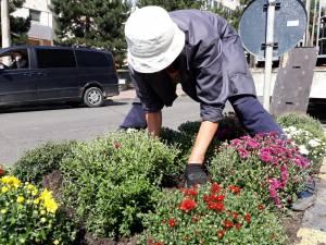 Plantarea crizantemelor, pentru înfrumusețarea Sucevei în toamnă, a început de la intrarea dinspre Fălticeni 2
