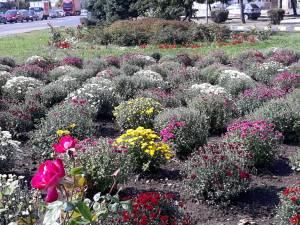 Plantarea crizantemelor, pentru înfrumusețarea Sucevei în toamnă, a început de la intrarea dinspre Fălticeni 3