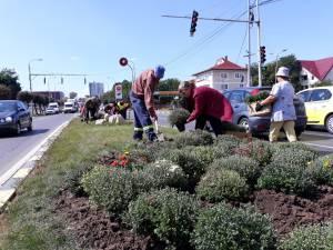 Plantarea crizantemelor, pentru înfrumusețarea Sucevei în toamnă, a început de la intrarea dinspre Fălticeni 4