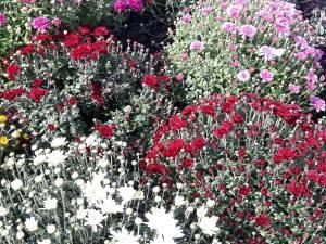 Plantarea crizantemelor, pentru înfrumusețarea Sucevei în toamnă, a început de la intrarea dinspre Fălticeni 5