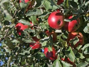Trei tineri au fost surprinşi într-o livadă în timp ce furau mere