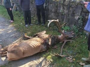 Cerbul venit sa moara printre oameni, in Campulung Moldovenesc