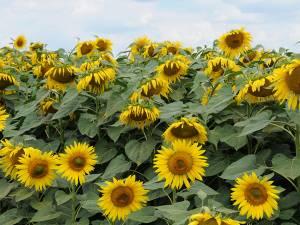 Producţia de floarea-soarelui a atins aproape 4.000 de kg boabe la hectar