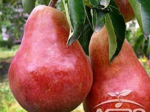 Pomi fructiferi, într-o bogată diversitate de soiuri, pot fi comandați de pe AgroDenmar.ro
