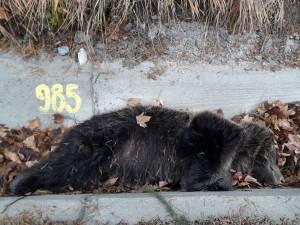 Urs mort pe marginea strazii, la Iacobeni