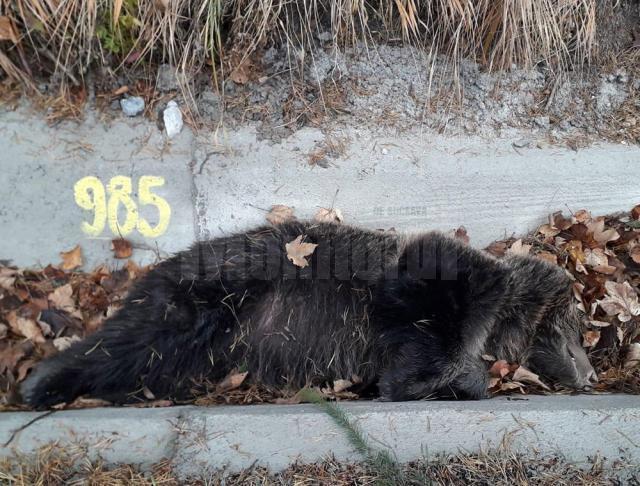 Urs de 50 de kg, mort pe marginea străzii, la Iacobeni