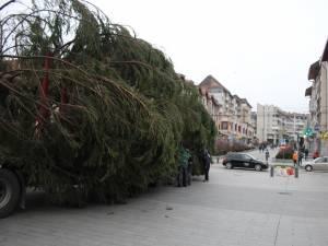 Impresionantul conifer, înalt de 18 metri, a fost adus de la Stulpicani