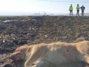 Unul dintre câinii împușcați în apropiere de Sasca Mare